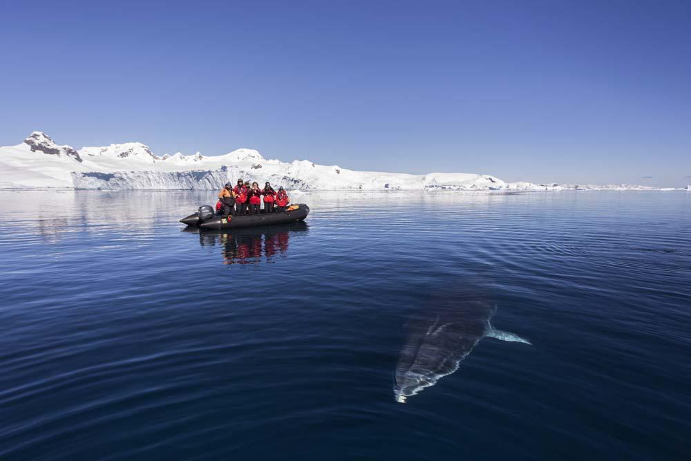 Zodiak passengers watch as a curious Minke Whale (Balaenoptera bonaerensis) prepares to surface while swimming in Curtis Bay.  Antarctic Peninsula